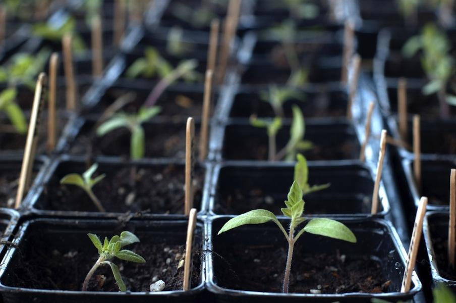 Seedlings Everyday Gardener