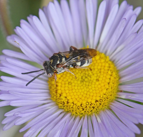 Anthophoridae epeolus Cuckoo Bee on a Fleabane Credit Diane Wilson Used with permission.