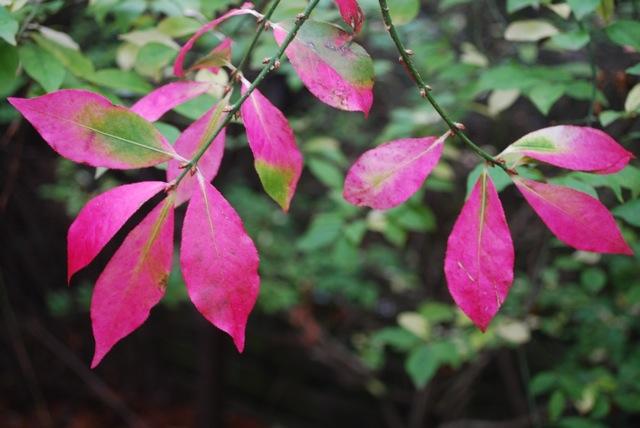 Euonymus alatus hot pink autumn foliage