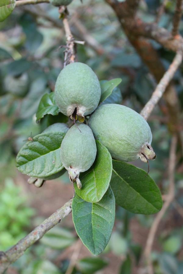 Feijoa fruit Photo Ros Goody