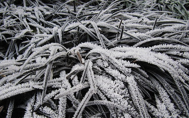 Frost on black Ophiopogon Photo by wallygrom