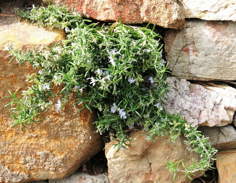 Prostrate rosemary growing in stone wall