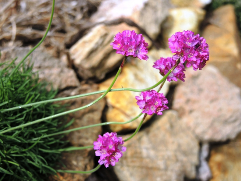 Armeria in dry stone wall