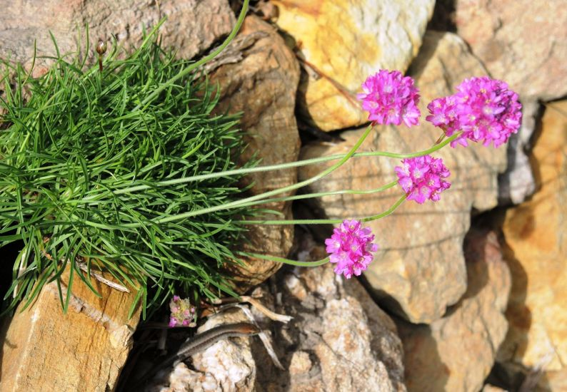 Grass skink on stone wall with armeria