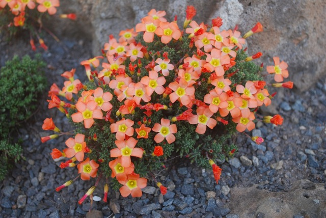 Oxalis cultivar