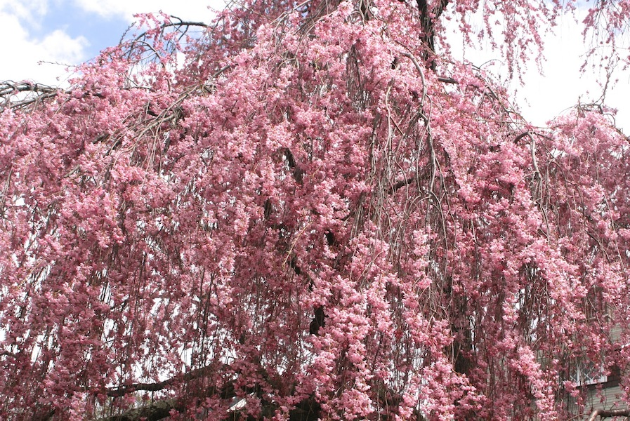 Reed Pugh cherry tree dripping with blooms