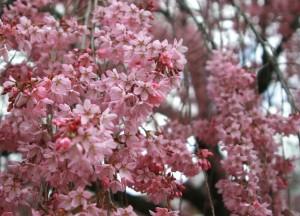 Reed Pugh cherry tree spring flowers