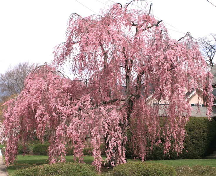 Reed Pugh magnificent old cherry tree in Boston