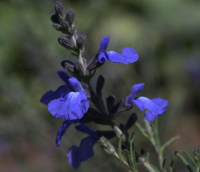 Salvia azurea