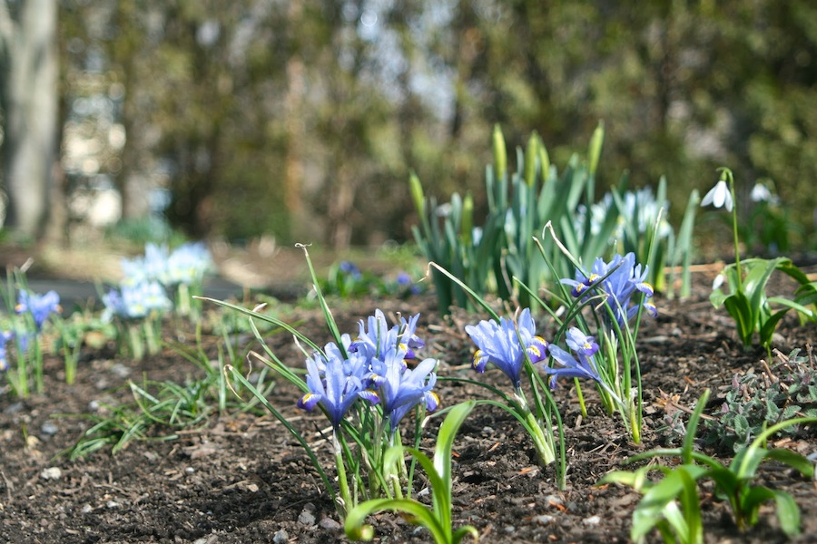 Snow drops finishing with rock iris going strong and daffodils and squill starting to come