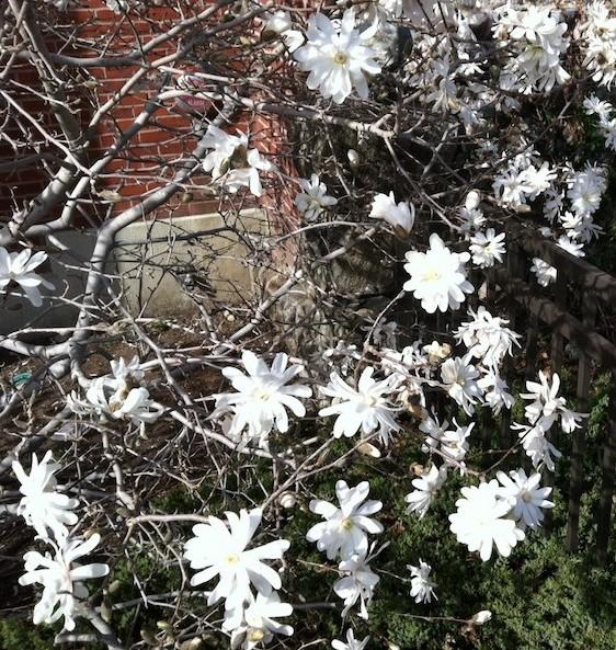 Star magnolia Photo Maria von Brincken