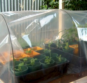 Vegetables in a mini greenhouse