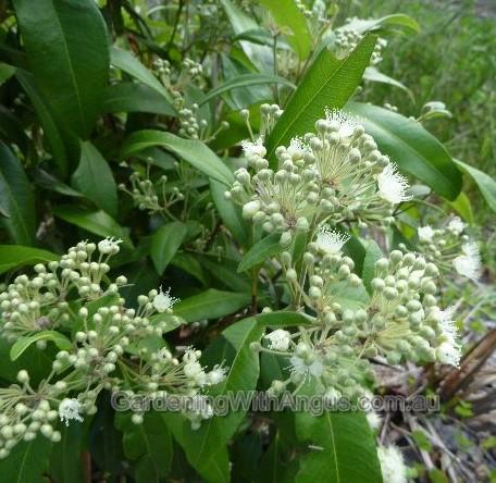 backhousia-citriodora-lemon-myrtle-004