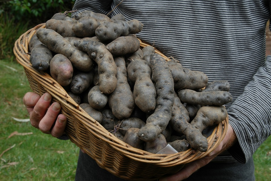 A basket of Purple Congo potatoes look like a basket of rottweiller droppings