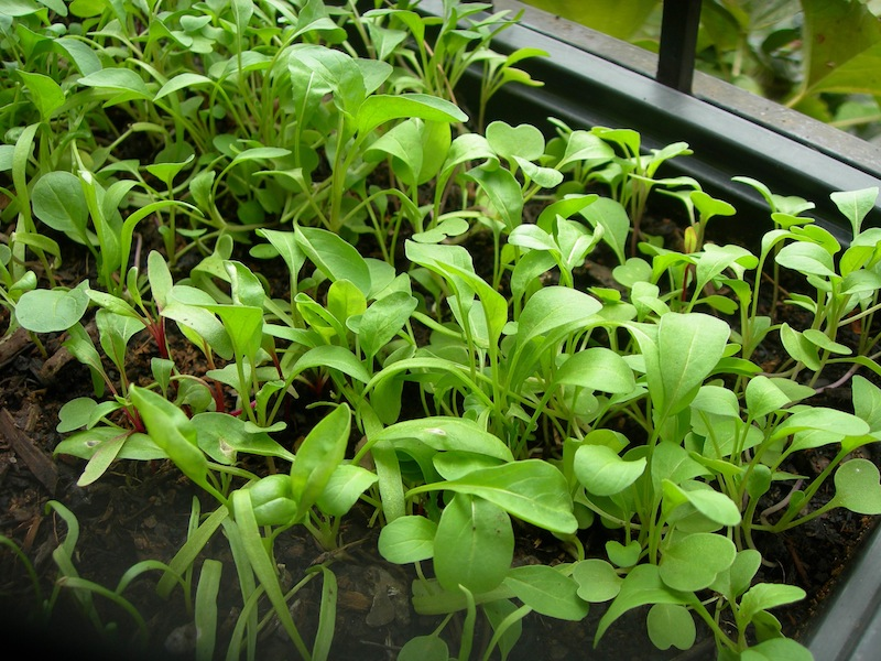 Success: Beautiful rocket, spinach baby leaf and a few beetroot, for eating as baby salad greens