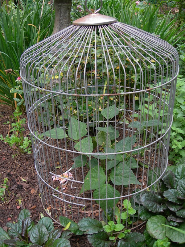 Old bird cage covering beans
