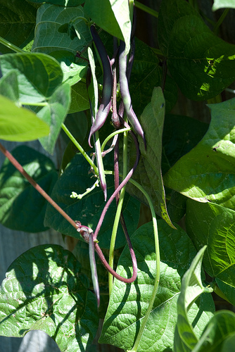 Purple pole bean vine