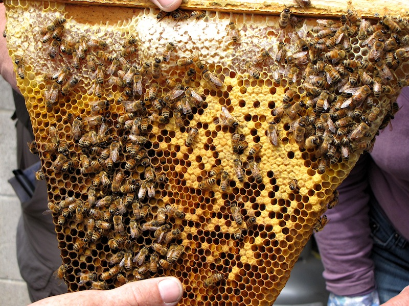 A section of honeycomb from a topbar hive