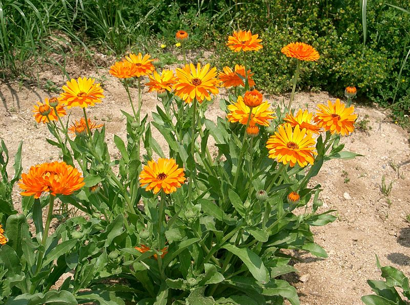 Calendula_officinalis3