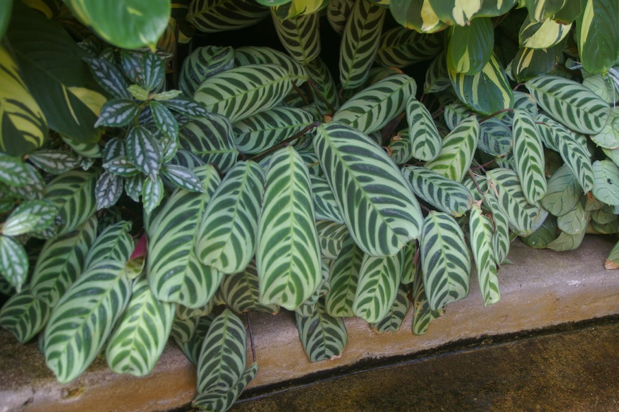 Ctenanthe burle-marxii has dramatically striped leaves
