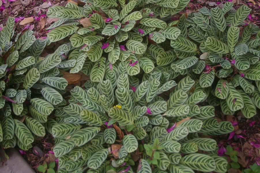 Ctenanthe burle-marxii makes a great low groundcover in the shade