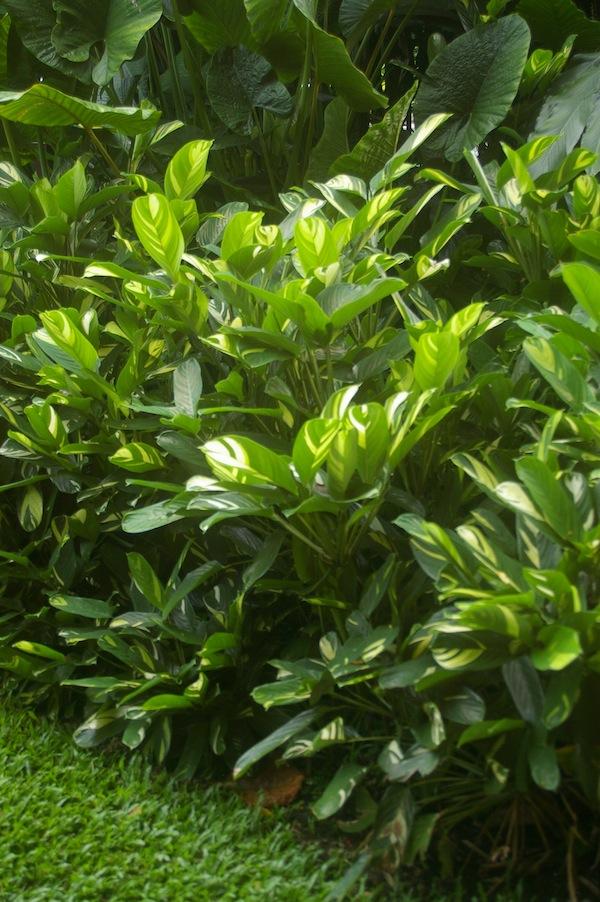 Ctenanthe lubersiana Cairns Botanic Garden