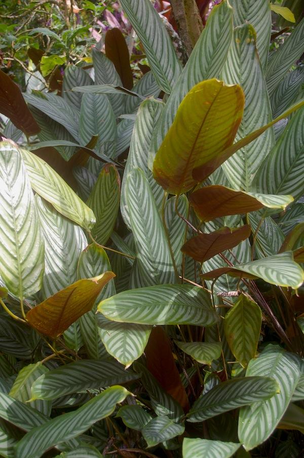 Ctenanthe setosa has striking purple undersides to the leaf