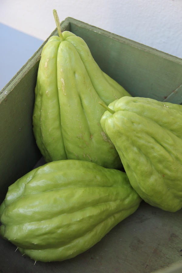 First harvest of sousou in my garden. I have learnt to cook it too – peel and slice thinly, then add to stews or stir fries. I have only one plant, and it has leapt into the neighbour's trees. It is very rampant