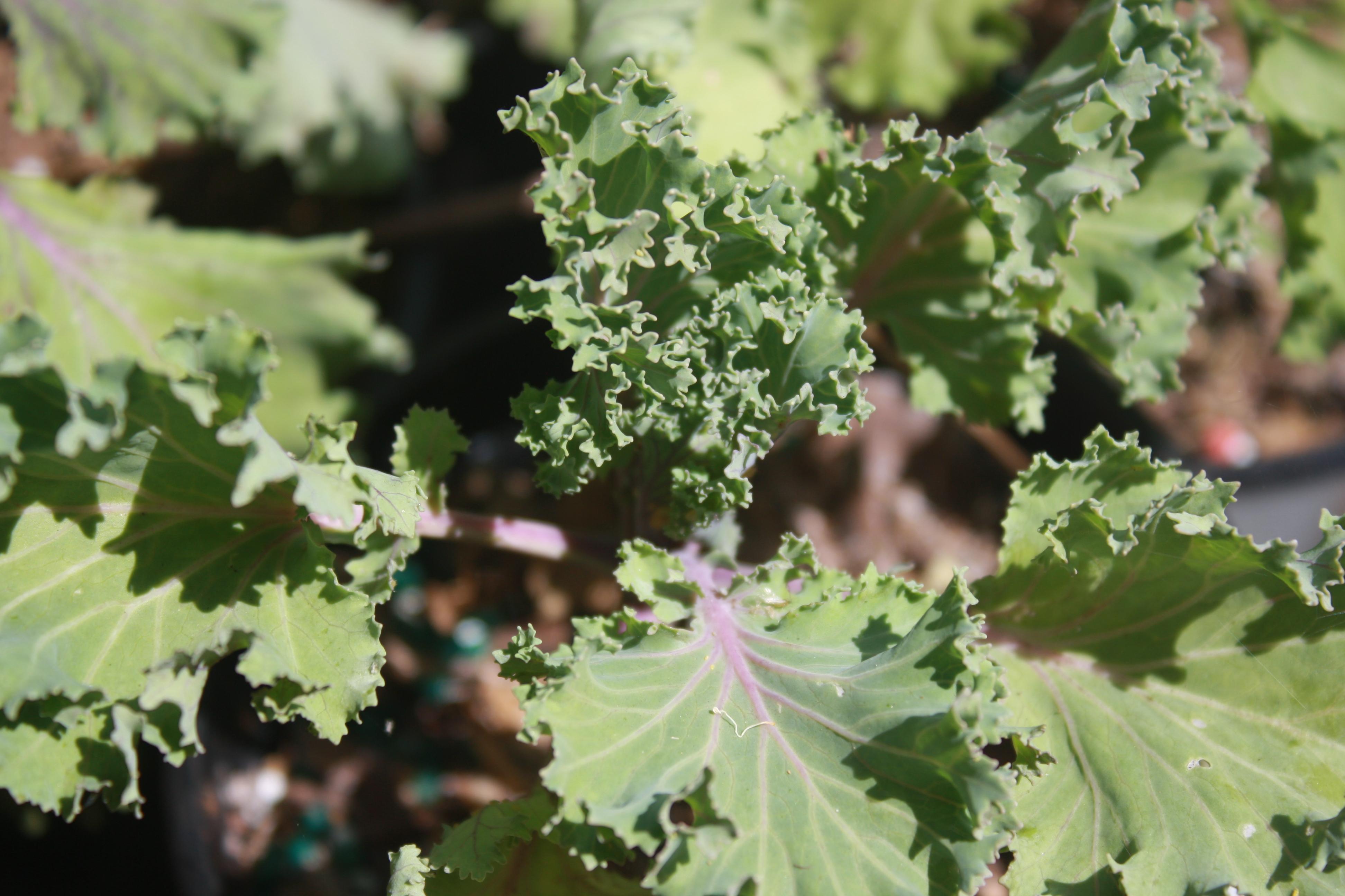 Frilly kale