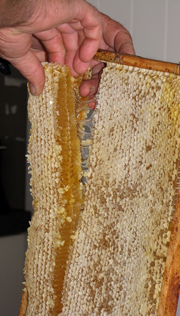 Honeycomb being removed from a Langstroth frame. The beeswax is edible when the comb is fresh