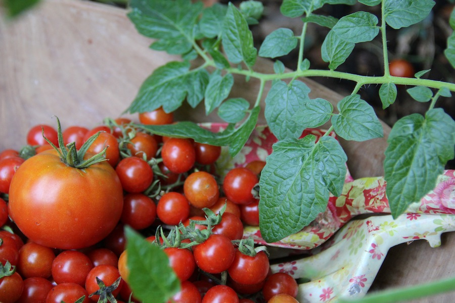 I had a whole wall of tomatoes until recently – we had a real tomato feast all summer long. I noticed baby plants all over the garden today!