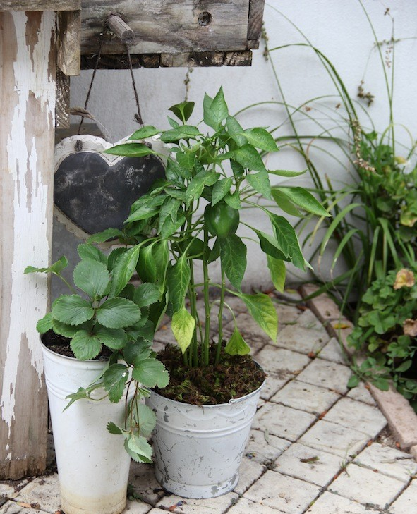 Although I have lots of space in my garden beds, I still love gardening in containers – a strawberry and a sweet pepper in white galvanised pots next to my planting table
