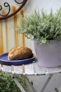 In my courtyard – silver thyme in a pot