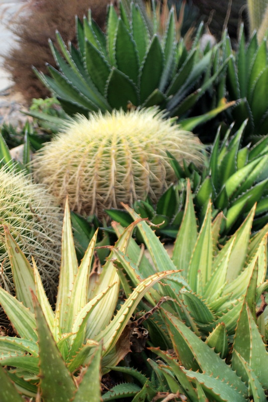 Barrel cactus and Agave lophantha