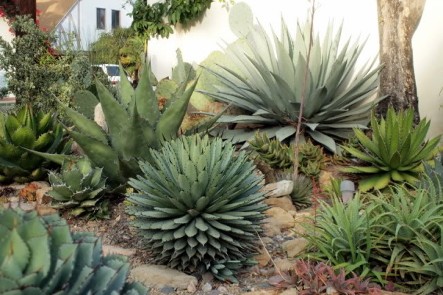 Jud's agave and succulent garden in California