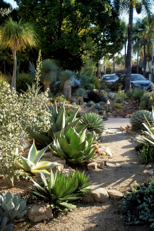 Jud's agave and succulent garden California