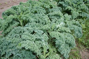 Kale Photo Dwight Sipler
