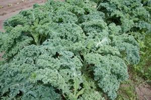 Kale Photo Dwight Sipler