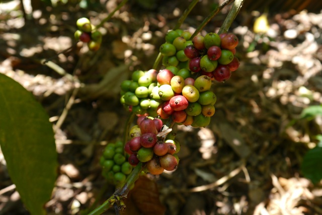 Ripening coffee beans. Although not native, coffee has apparently been grown in India for centuries