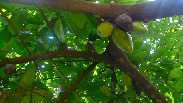 The cocoa tree (Theobroma cacao) is not native to India but thrives in the Kerala climate. Its flowers and the chocolatey beans grow directly from the trunk