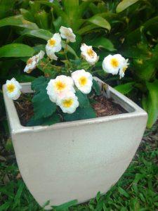 Sunnyside Up Begonia heimalis