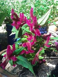 Celosia spicata or cockscomb plant