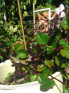 Wellness food Ceylon spinach