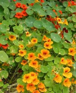 Nasturtium flowers add colour to a salad