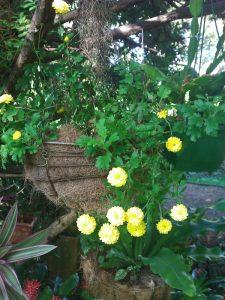 Yellow button chrysanthemums happy in hanging basket
