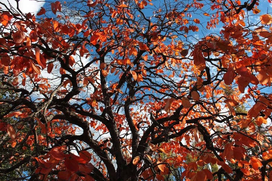 Persimmon canopy