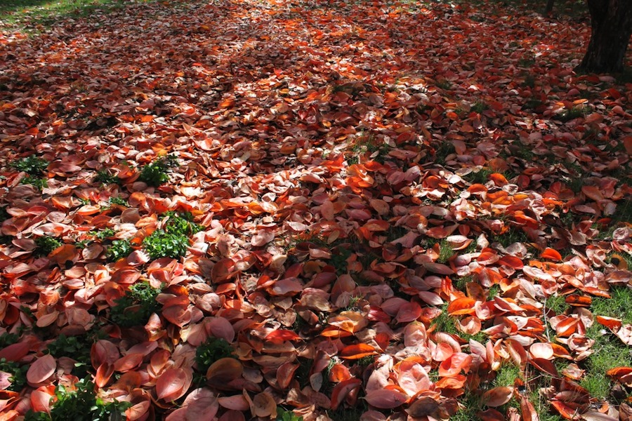 A sea of persimmon leaves