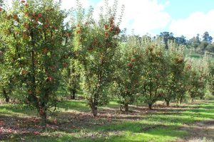 Apple trees laden with fruit