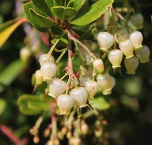 Irish strawberry tree, Arbutus unedo, flower