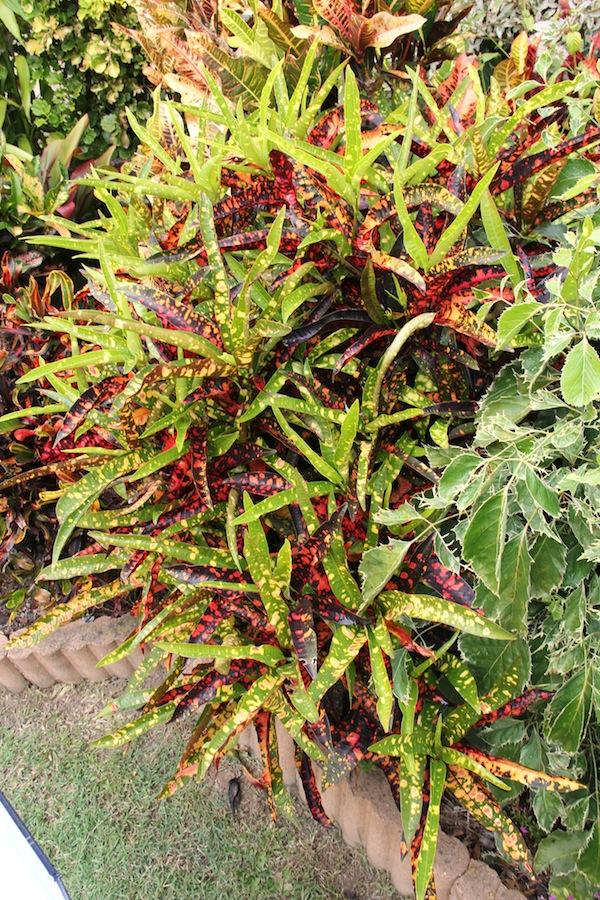 Codiaeum variegatum 'Franklin Roosevelt'